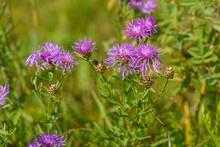 Purple Wild Thistle Flower (thistle) In The Field