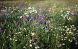Fototapeta Kwiaty - łąka, kwiaty polne, field flowers