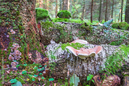Vászonkép Birch polypore on a fallen tree in the forest