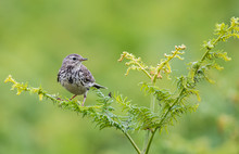 The Meadow Pipit Is A Common Nesting Bird Of Moorland, Heathland And Rough Grassland
