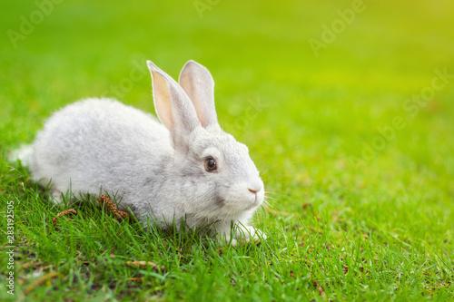 Obraz na płótnie Cute adorable white fluffy rabbit sitting on green grass lawn at backyard