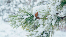 View Of A Winter Snow-covered Forest. Winter Forest Texture. Winter Christmas Landscape. Snow Covered Forest.