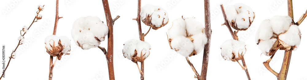 Fototapety, obrazy: collection of dried twigs of cotton plant isolated