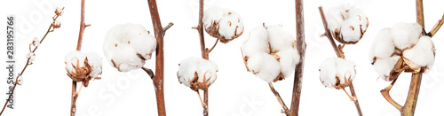 Fotografia  collection of dried twigs of cotton plant isolated