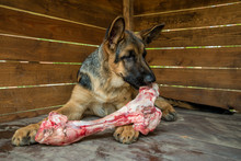 The Dog Chews A Large Raw Beef Bone. Young German Shepherd Lies In A Large Wooden Booth And Enjoys A Tasty Piece Of Meat. Natural Food Useful For Dogs And Dental Health. Pet Treats Favorite Food