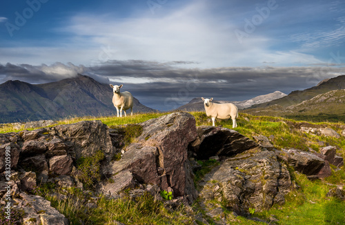 Sheep On Top Of Rocky Hill In Scenic Rural Landscape In Scotland Tablou Canvas