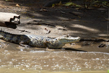 Alligator In Tortuguero Nation...