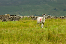 Swaledale Ewe  With Shorn Fleece, Facing Forward In Beautiful Swaledale, England.  Scenic, Dales Backdrop With Green Fields And Dry Stone Walling.  Landscape, Horizontal.  Space For Copy.
