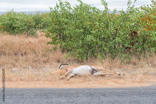 Impala ram killed by a speeding vehicle