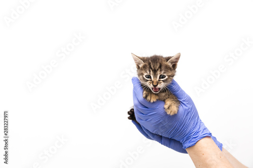 plakat Checkup and treatment of kitten by a doctor at a vet clinic isolated on white background, vaccination of pets, tabby cat
