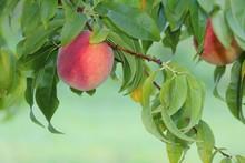 Peach Tree At Homestead Farm I...