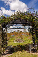 Vines Cover Arbor At The Entrace To The Blueberry Patch  At A U-pick Farm