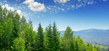 Evergreen Fir Trees In Mountains