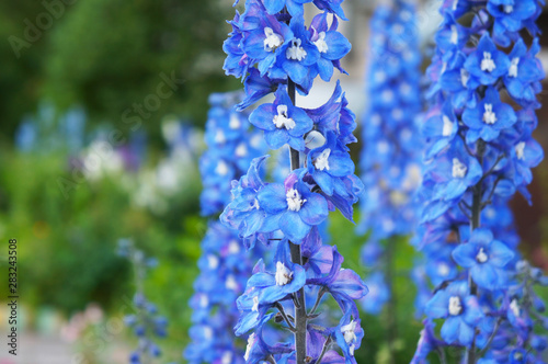 Leinwand Poster Delphinium cultorum benary's pacific blue bird flowers