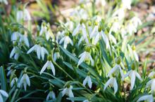 Leucojum Aestivum Or Loddon Lily White Flowers