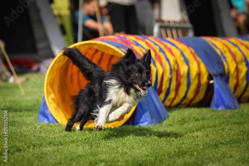Photo Dog Border collie in agility tunel