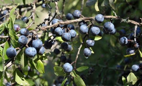 Photo  On the branch bush mature berries blackthorn