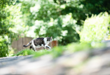 Side View Of A Tabby White Domestic Shorthair Cat Crossing The Street In Front Of Trees And Bushes On A Sunny Summer Day Looking At Camera