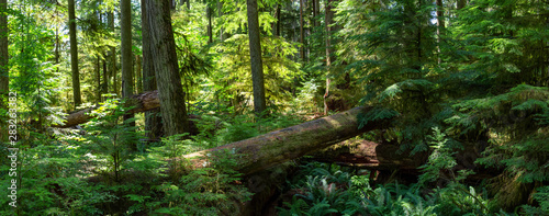 Beautiful View of the Rain Forest during a vibrant sunny summer day. Taken in MacMillan Provincial Park, Vancouver Island, British Columbia, Canada.