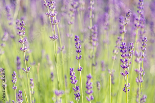 Fototapety, obrazy: Floral background of lavender blooming. Purple lavender flowers on natural background.