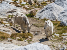 White Mountain Goat In Cascade...