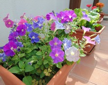 Colorful Mix Of Flowers Of Mini Petunias In A Pot Growing Outdoors In The Garden On The Terrace. Italy. Calibrachoa Hybrid