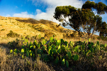 Prickly Pear Patch On Grassy H...