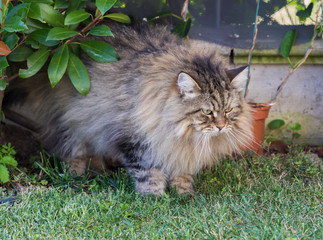 Naklejka na ściany i meble Long haired cat of siberian breed in relax outdoor. Purebred kitten, hypoallergenic animal