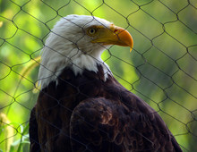 The Bald Eagle Is A Bird Of Prey Found In North America. A Sea Eagle, It Has Two Known Subspecies And Forms A Species Pair With The White-tailed Eagle. Its Range Includes Most Of Canada And Alaska