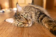 Maine Coon Cat With Green Eyes Lies On A Wooden Floor