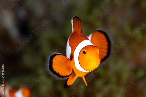 Obraz na plátně Clownfish or anemonefish are fishes from the subfamily Amphiprioninae in the fam