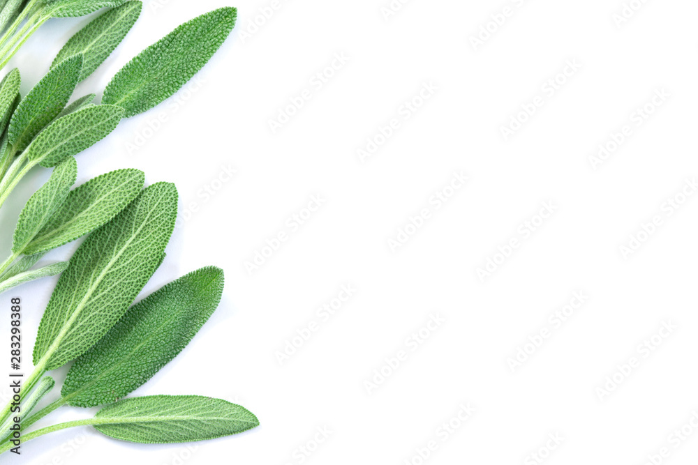 Fototapety, obrazy: Close up fresh green sage herb leaf on a white background