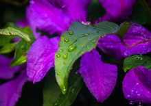 Wet Flower And Clematis Leaf After Rain