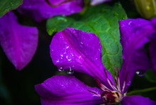 Clematis Petal With Drops After Heavy Rain