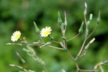 Yellow Flowers Of Lactuca Serriola