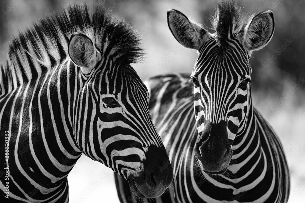 Fototapety, obrazy: portrait of a zebra
