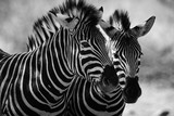 Fototapeta Zebra - close up of zebra