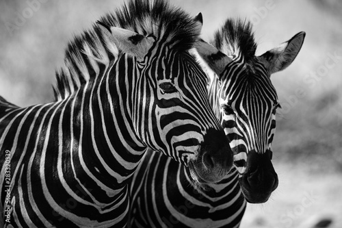 close up of zebra - 283320339