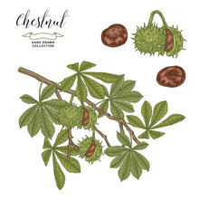 Chestnut Tree Branch. Colorful Fruits Ans Leaves Of Chestnut. Hand Drawn Vector Illustration. Autumn Collection. Engraving Style.