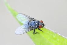 Blow Fly,  Calliphora Sp
