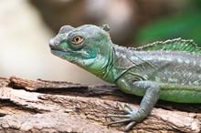 Portrait Of A Green Basilisk