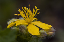 Chelidonium Majus Greater Celandine Nipplewort Swallowwort Yellow Flower Of Large Stamens