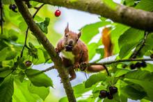 Rostbraunes Eichhörnchen Mit Kirsche Im Maul, Das Sich Zwischen Den Blättern Im Verzeigten Baum Versteckt