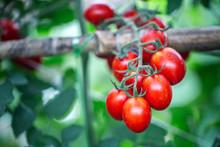 Ripe Red Tomato In Greenhouses Farming