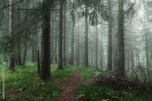 morning in the misty forest