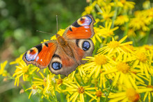 Peacock Butterfly On Blossom R...