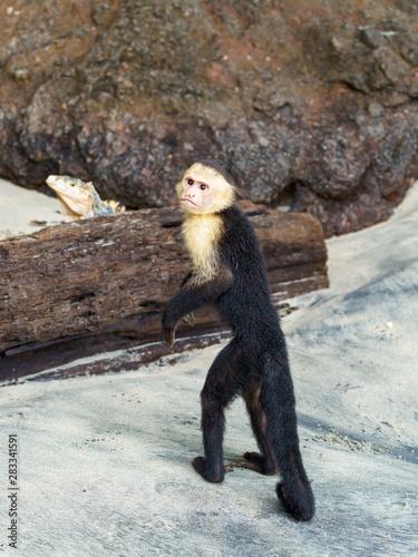 Photo capuchin monkey (Cebus capucinus), taken in Costa Rica