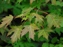 Maple Leaves Just Starting To ...