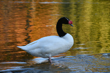 Black-necked Swan Stands In The Water