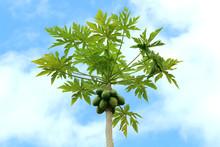 Hawaiian Papaya Tropical Fruit Tree